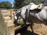 En verano los caballos necesitan beber mucho para realizar las faenas de campo